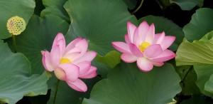 ハスの花画像